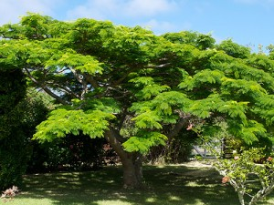 Beautiful Poinciana Tree